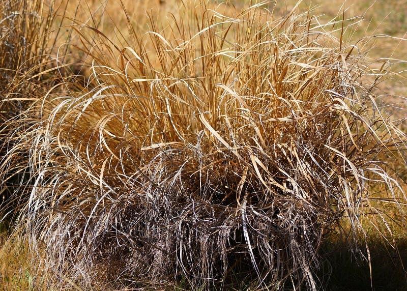 Trockene wilde Gräser stockbild