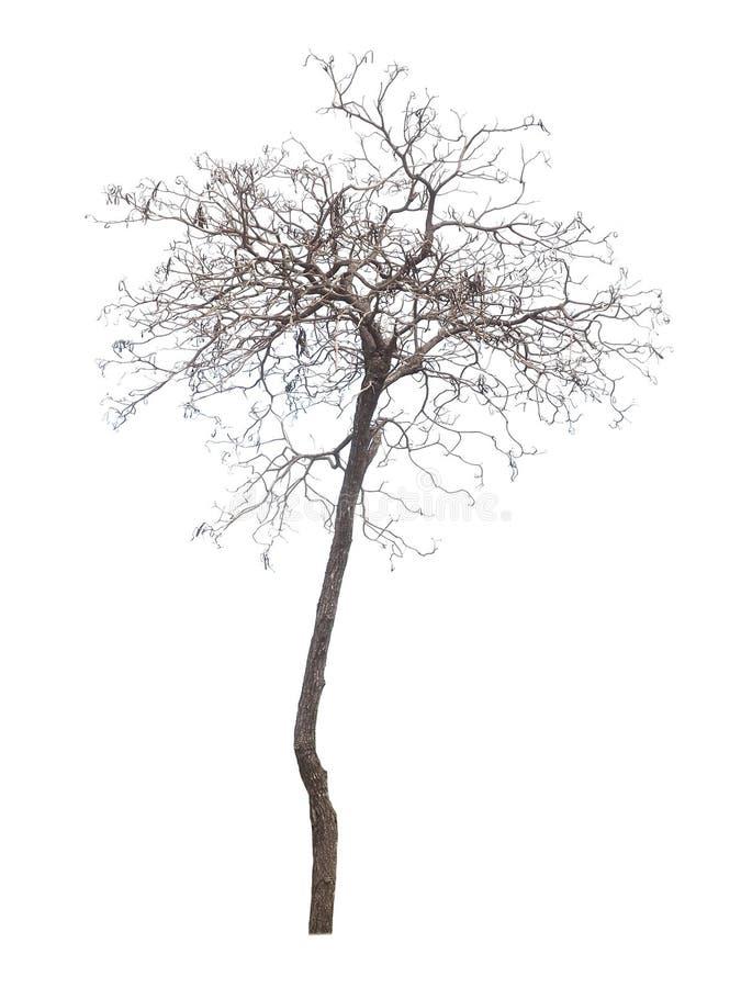 Trockener Baum auf einem weißen Hintergrund lizenzfreie stockfotografie