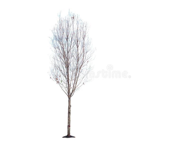 Trockener Baum auf einem weißen Hintergrund stockfotos