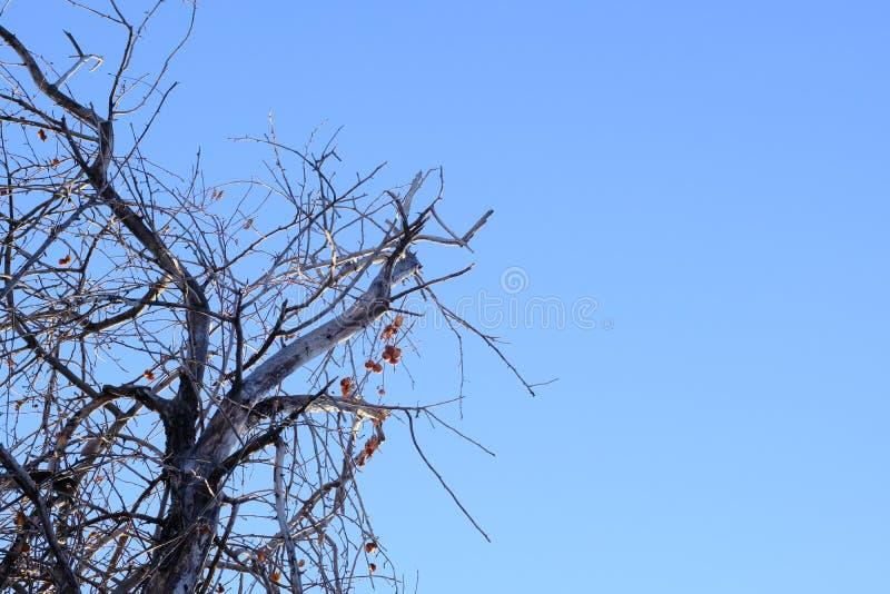 Trockener Baum gegen den blauen Himmel Apfelbaum mit Trockenfrüchten Das Konzept des Klimaunfalles, Betriebstod Kopieren Sie Plat lizenzfreies stockbild