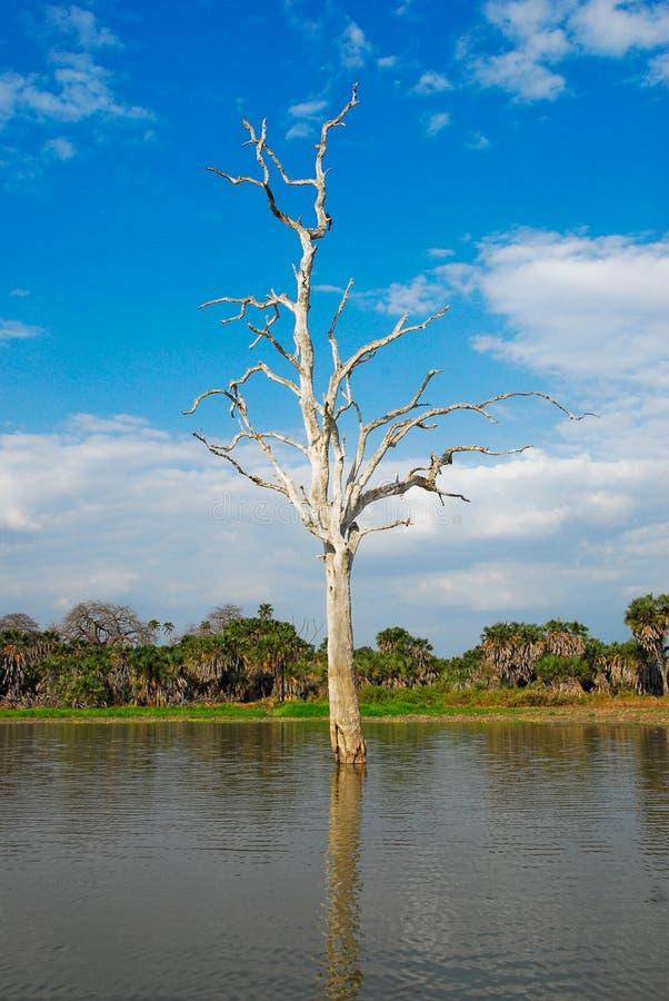 Trockener Baum im Rufiji Fluss, Selous Spielvorbehalt stockfoto