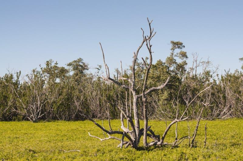 Trockener Baum im Sumpf von Sumpfgebieten lizenzfreie stockfotografie