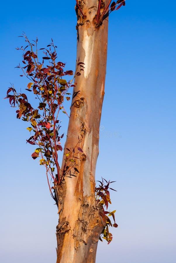 Trockener Baum ohne Barke auf klarem Himmel lizenzfreie stockbilder