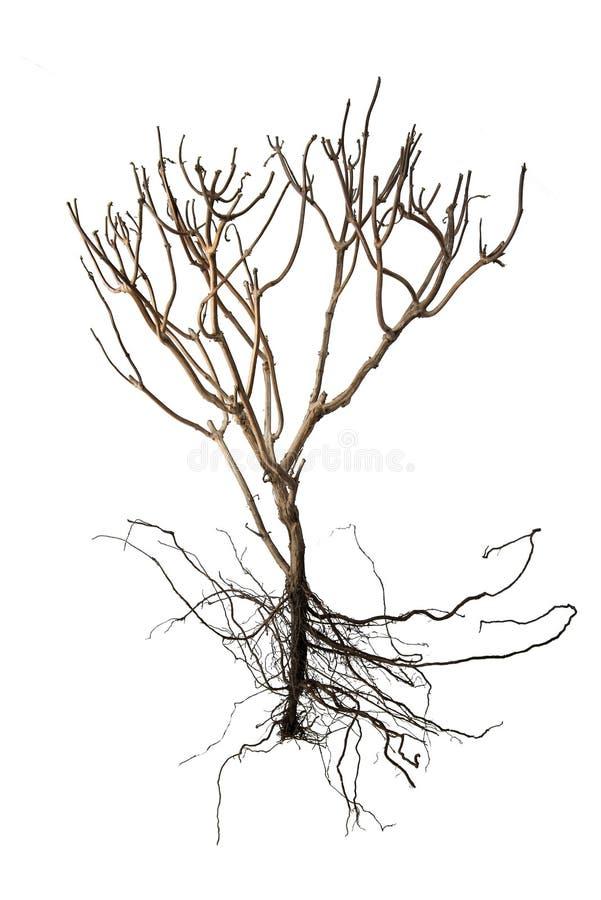 Trockener Baum und bloße Wurzel lokalisiert auf weißem Hintergrund für Ökologie stockfoto