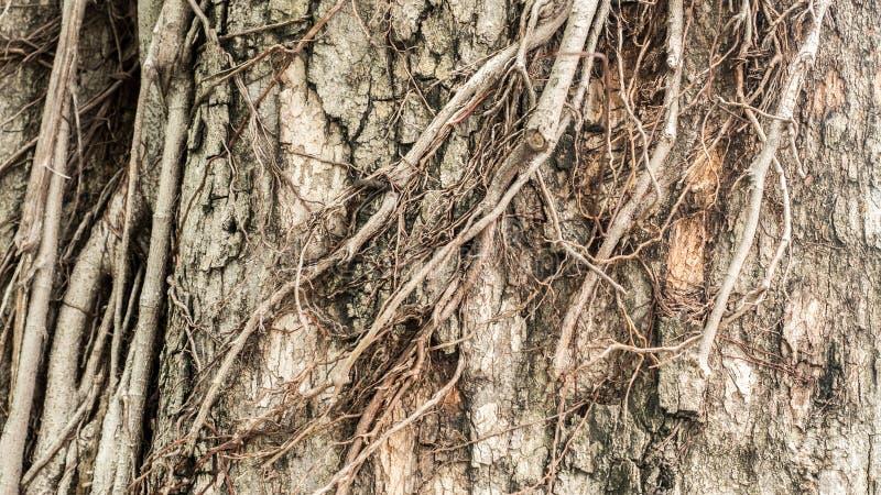 Trockener Baumrindebeschaffenheitshintergrund Schließen Sie herauf großen Baum stockbild