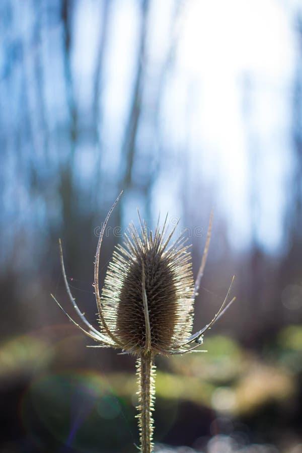 Trockener Distelabschluß oben mit hinterer Beleuchtung am Frühling lizenzfreies stockbild