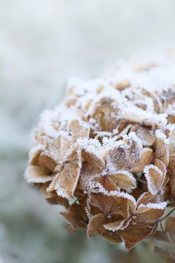 Trockener Hortensiaabschluß oben im Winter lizenzfreie stockfotografie