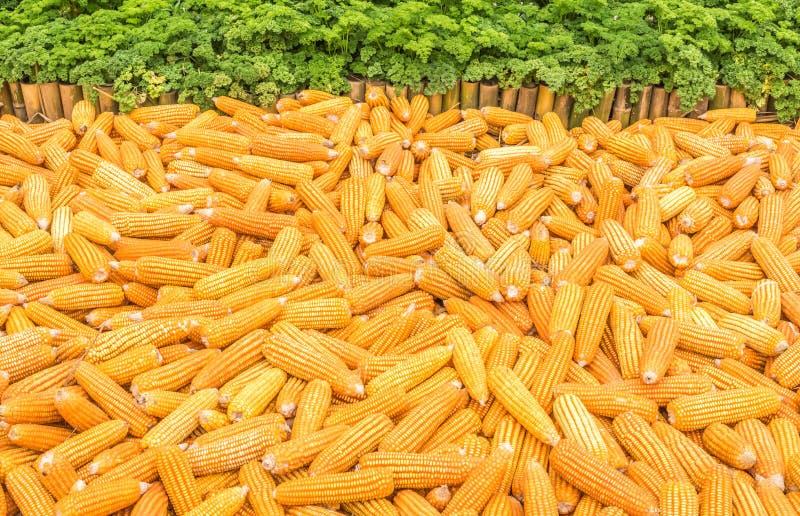 Trockener Mais lizenzfreie stockfotos