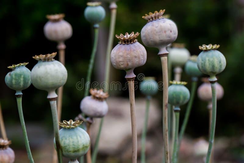 Trockener Oberteilkopf der Mohnblumenfrucht mit den Samen gewachsen auf Wiese stockfotos