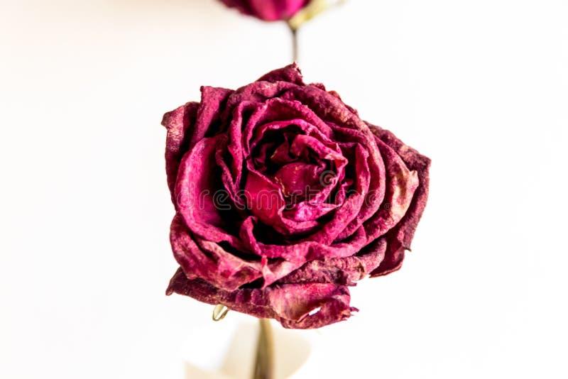 Trockener Rosenabschluß oben lizenzfreies stockbild