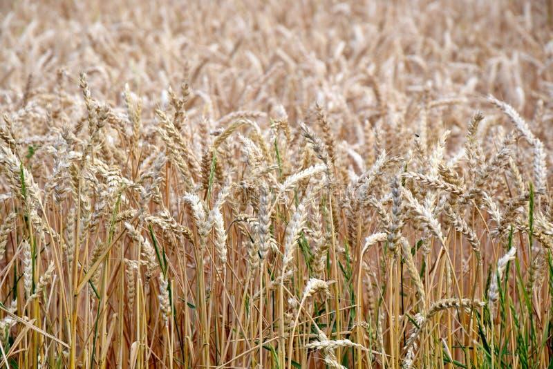 Trockener Rye-Feld-Korn-Hintergrund-Foto auf Lager lizenzfreies stockfoto