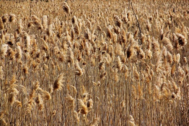 Trockener Weizen, der auf einem Gebiet durchbrennt stockfotos