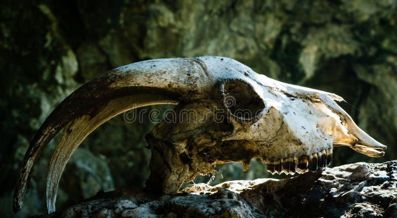 Trockener Ziegenschädel mit großen Hörnern auf einem Stein, lizenzfreie stockfotografie