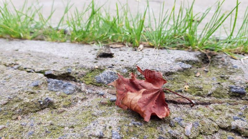 Trockenes Ahornblatt auf verfallenem Betonblockbodenbelag stockfotografie