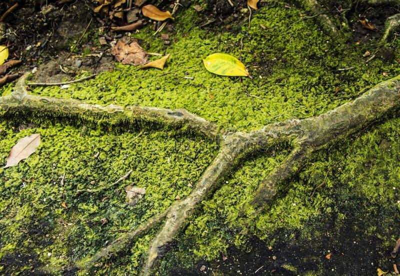 Trockenes Blatt auf Mos And-Wurzeln stockfotografie