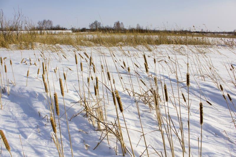Trockenes gelbes Schilf im weißen Schnee gegen den Hintergrund des Winterwaldes stockbilder