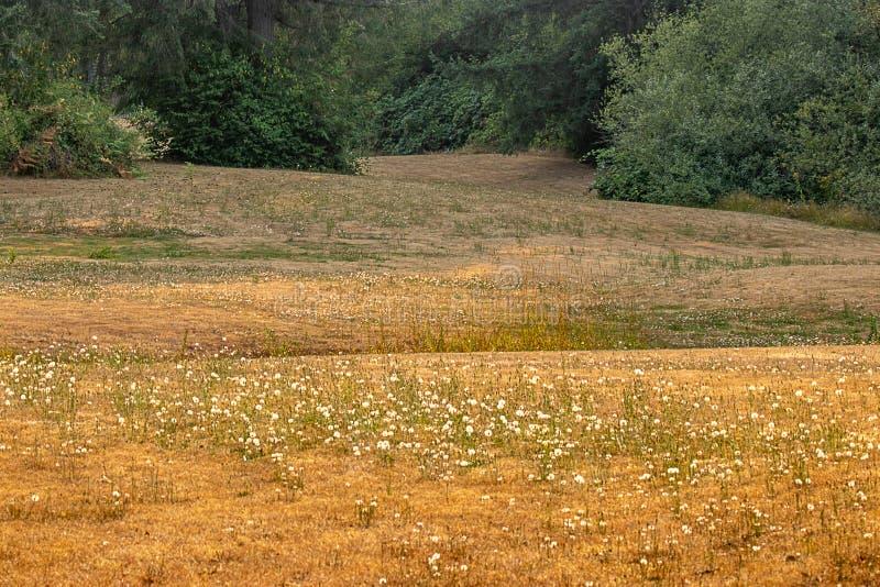 trockenes goldenes Sommerfeld des Löwenzahns führt zurück zu dunkelgrünem Wald stockfotos
