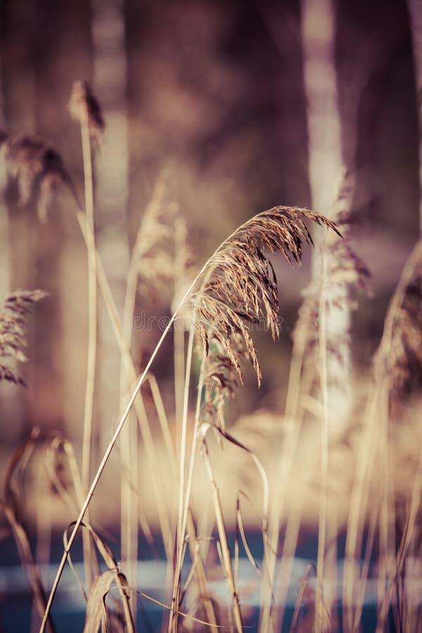 Trockenes Gras in der Winterzeit, Polen. lizenzfreies stockbild