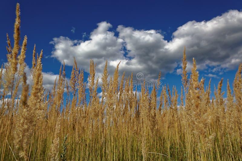 Trockenes Gras gegen einen blauen Himmel mit Wolken stockfotos