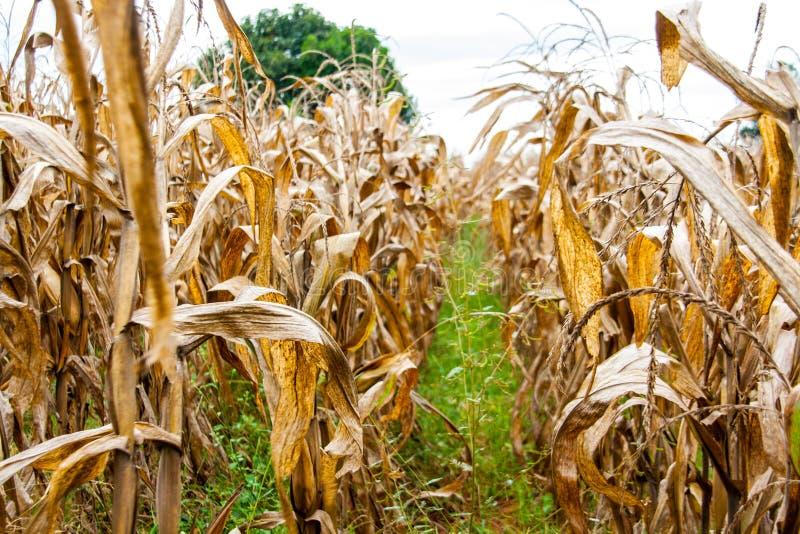 Trockenes Maisfeld und -baum im Herbst lizenzfreies stockfoto