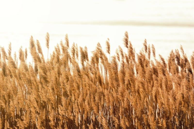 Trockenes Reedverbiegen ?ber das Wasser Sonnenuntergang auf dem Fluss stockbilder