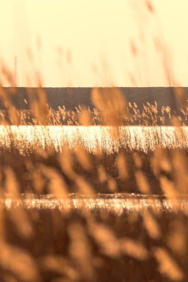 Trockenes Reedverbiegen ?ber das Wasser Sonnenuntergang auf dem Fluss stockfoto