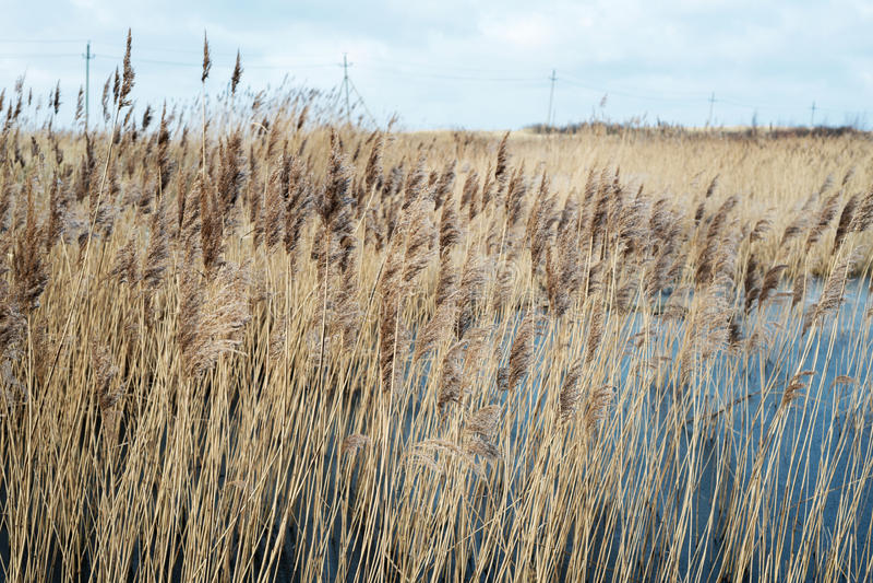 Trockenes Reedwachsen nahe einem See im Fall lizenzfreies stockbild