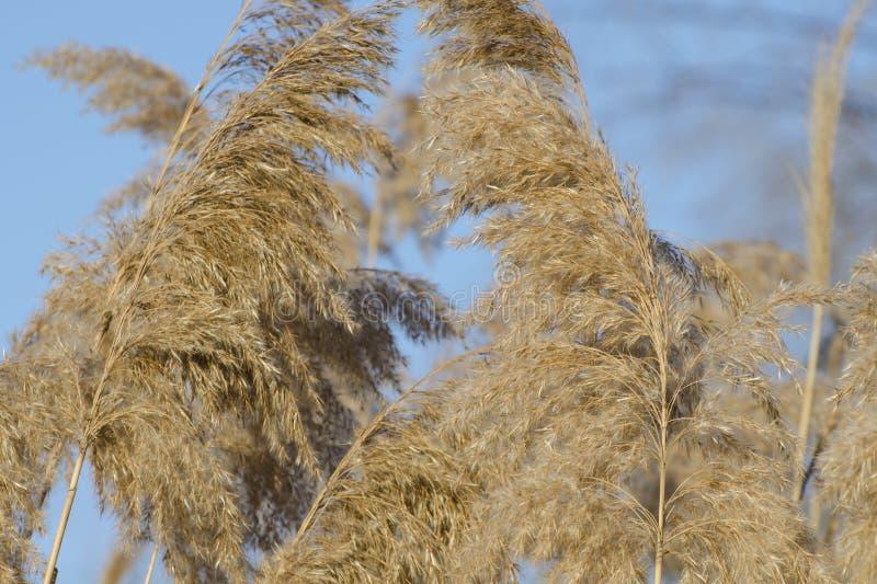 Trockenes Schilf auf dem Fluss, den Stocksamen und dem Blütenstand Goldenes Reedgras im Frühjahr im hellen Sonnenlicht stockfotografie