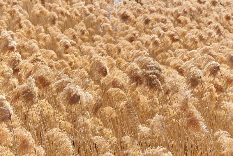 Trockenes Schilf auf dem See Goldenes Reedgras in der Sonne lizenzfreies stockfoto