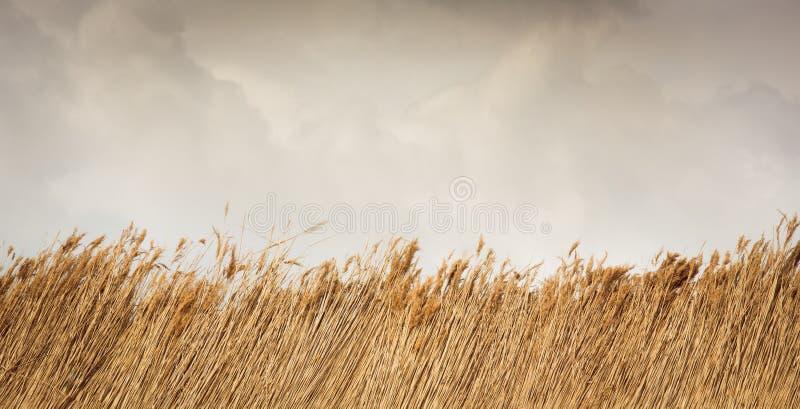 Trockenes Schilf oder Stroh mit Himmel und Wolken stockfotografie