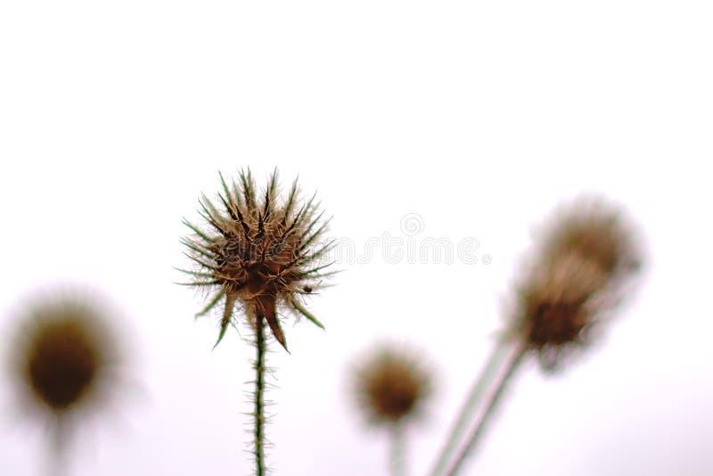 Trockenfrüchte einer kleinen Karde, islated auf weiß- Dipsacus pilosus lizenzfreie stockfotografie