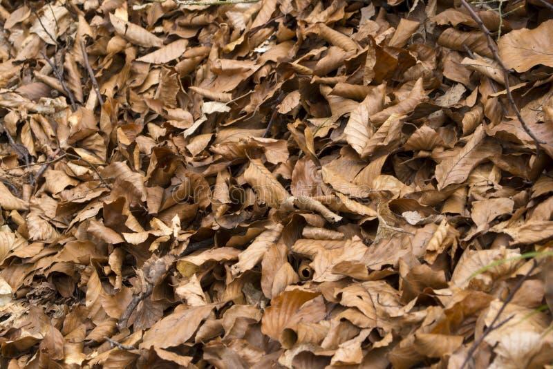 Trocknen Sie gefallenen braunen Blatthintergrund stockfoto