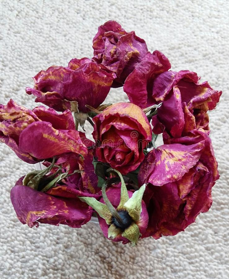 Trocknen Sie Rosafarbenes stockfotografie