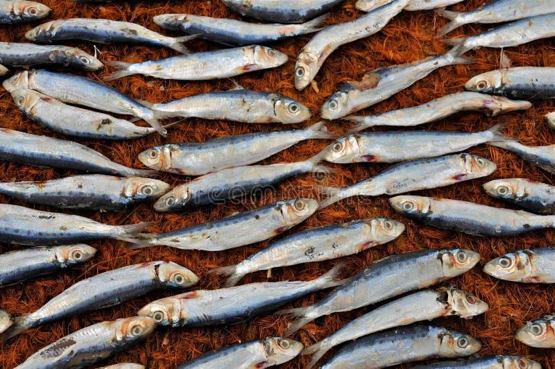 Trocknende Fische stockbild