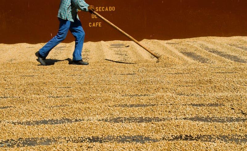 Trocknender Kaffee stockbild
