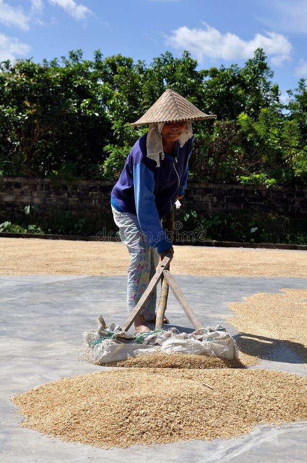 Trocknender Reis stockfotos
