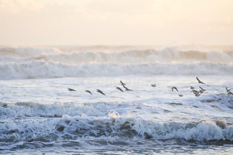 Troep die van Sanderlings over de Golven van het Overzees vliegen royalty-vrije stock foto