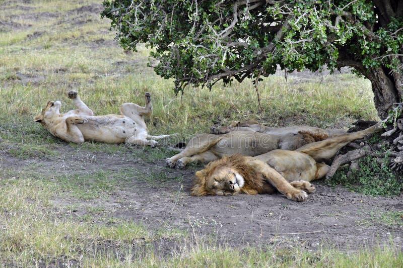 Troep leeuwen royalty-vrije stock foto's