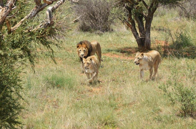 Troep leeuwen, Afrika royalty-vrije stock afbeelding