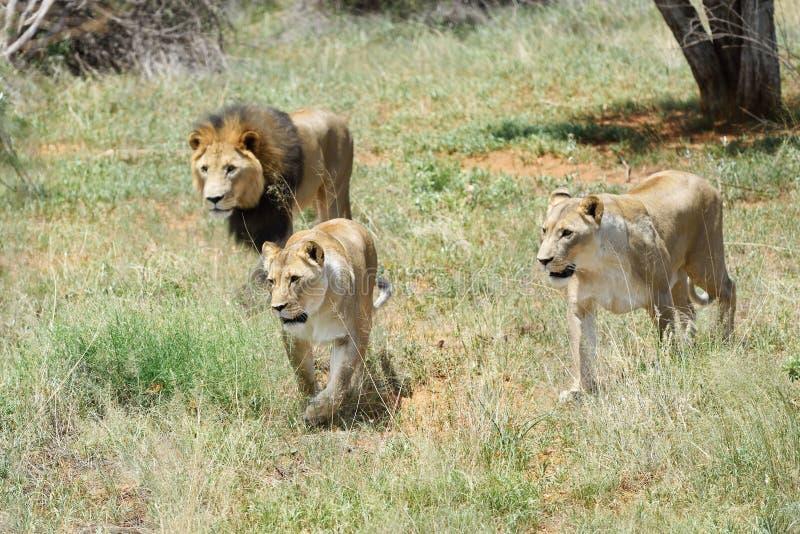 Troep leeuwen, Afrika stock afbeelding