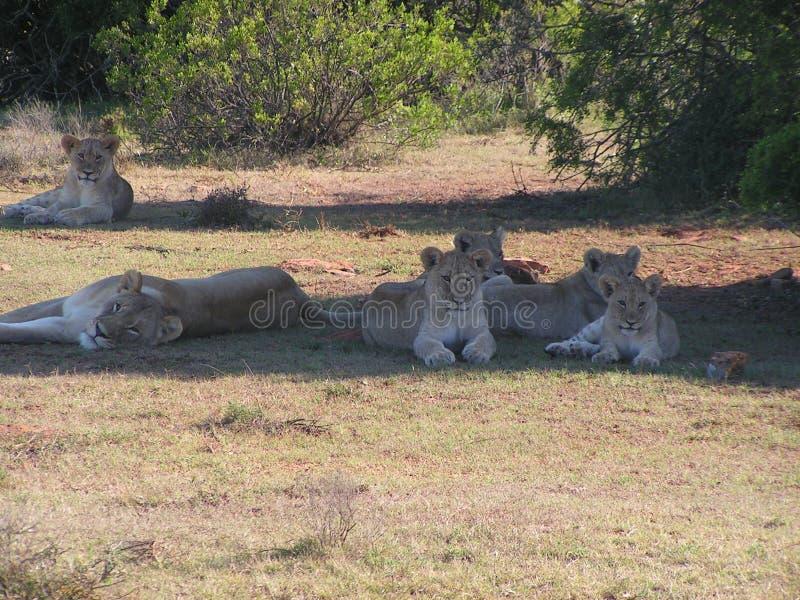 Troep leeuwen in de schaduw stock foto's