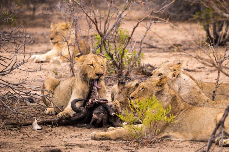 Troep leeuwen met Prooi in Savanne, Kruger-Park, Zuid-Afrika royalty-vrije stock afbeeldingen