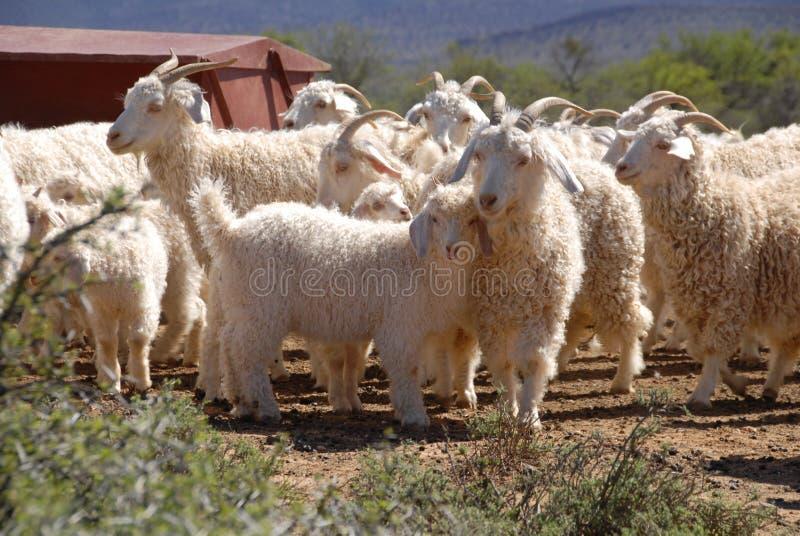 Troep van Angora geiten royalty-vrije stock foto