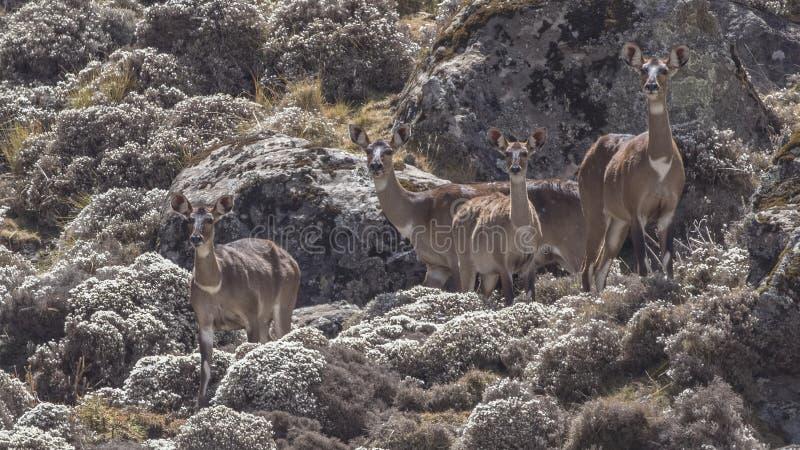 Troep van Berg Nyala op Gebied stock foto's