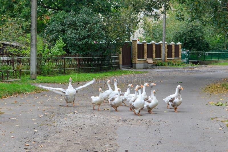 Troep van binnenlandse ganzengangen langs een asfaltweg in het dorp stock foto