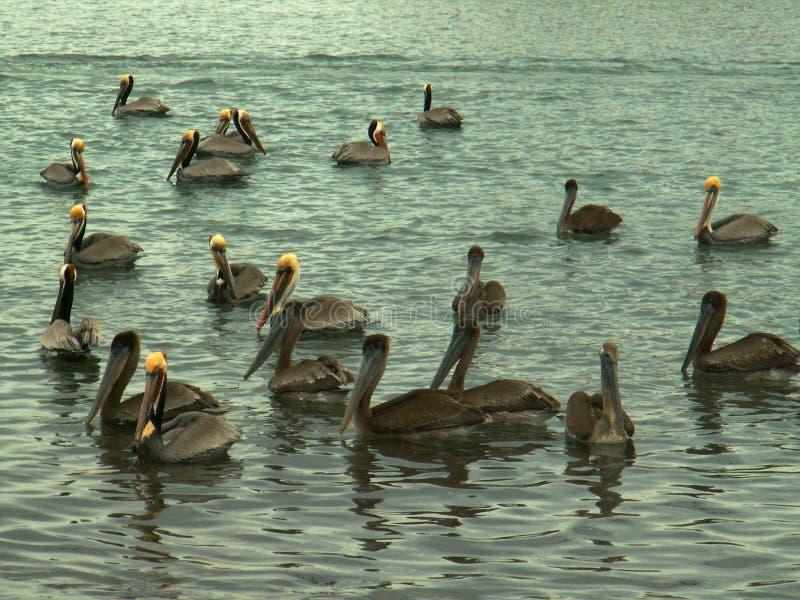 Troep van Bruine Pelikanen op de Golf van Californië, dichtbij Mulege, Mexico stock foto