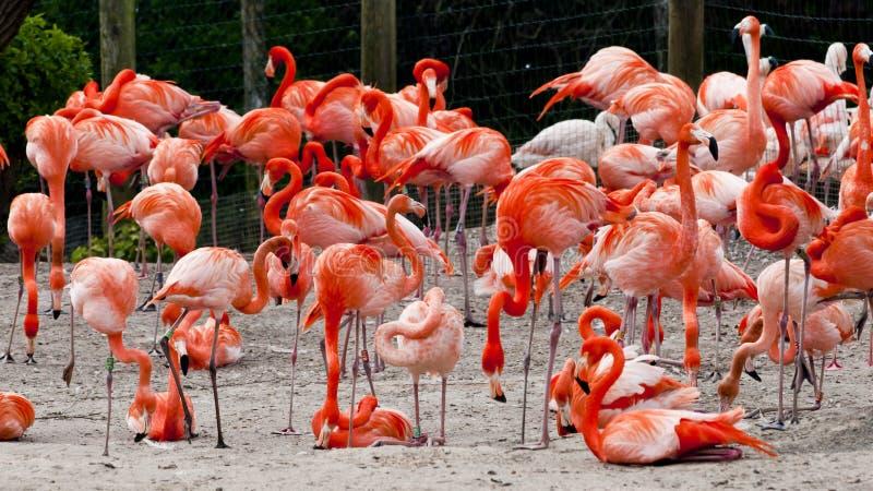 Troep van Caraïbische flamingoes royalty-vrije stock foto