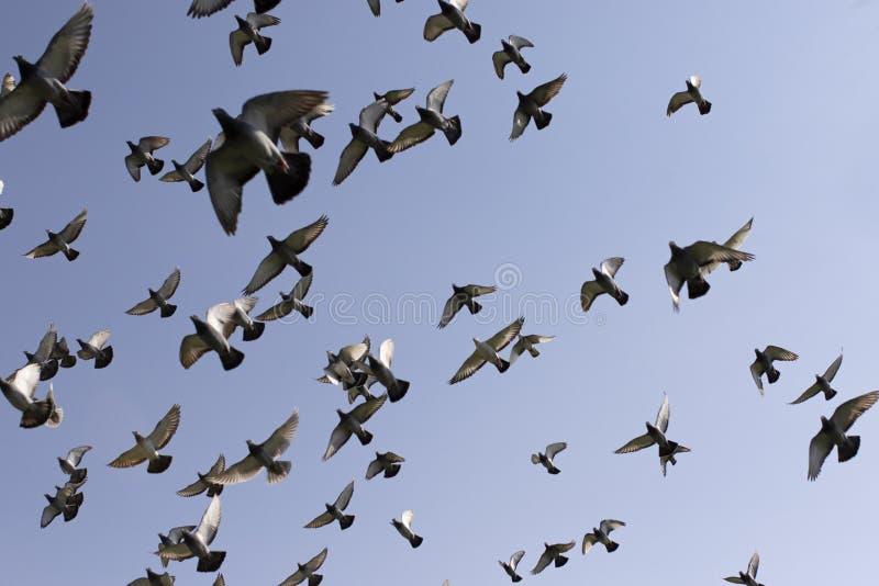 Troep van de vogel die van de snelheidspostduif tegen duidelijke blauwe hemel vliegen stock foto's