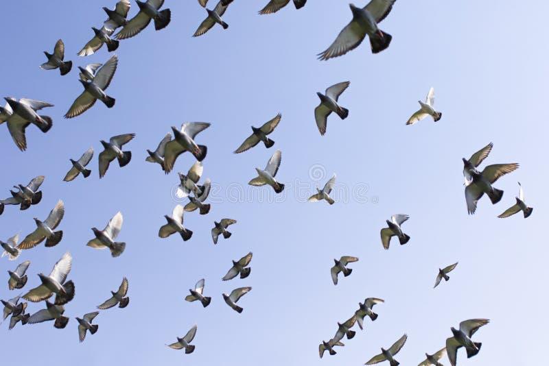 Troep van de vogel die van de snelheidspostduif tegen duidelijke blauwe hemel vliegen royalty-vrije stock fotografie