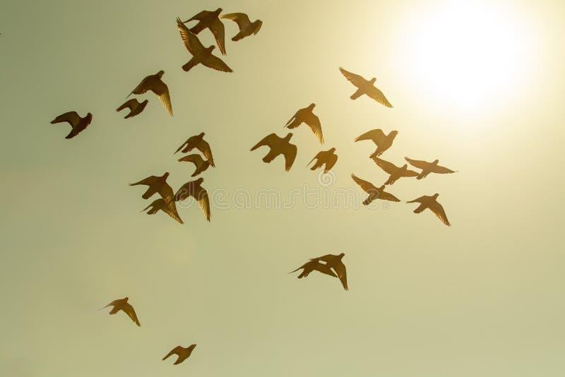 Troep van de vogel die van de snelheidspostduif tegen zonsonderganghemel vliegen royalty-vrije stock foto